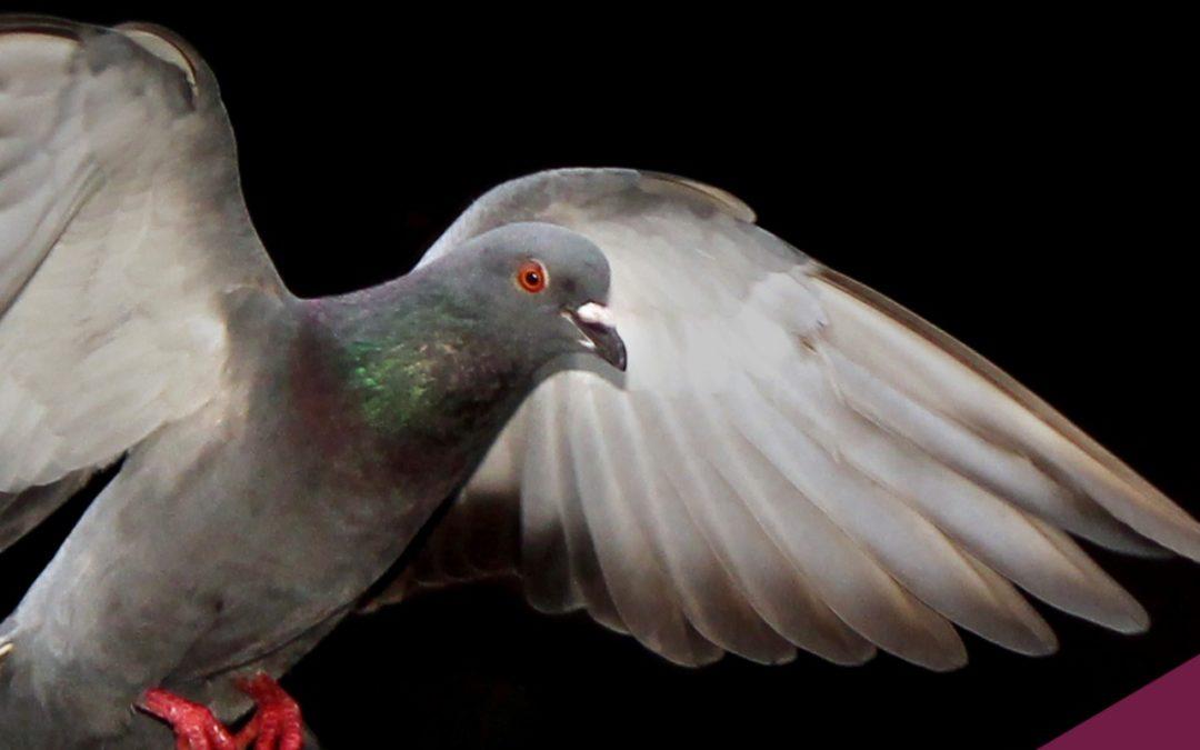 Câmeras de alta velocidade revelam que pombos voam como helicópteros